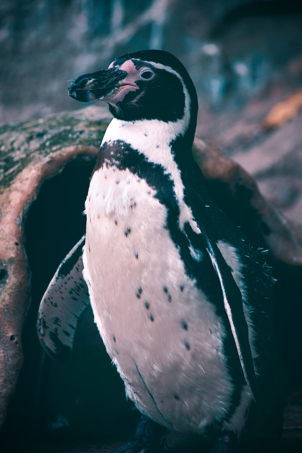 black and white penguin on brown rock