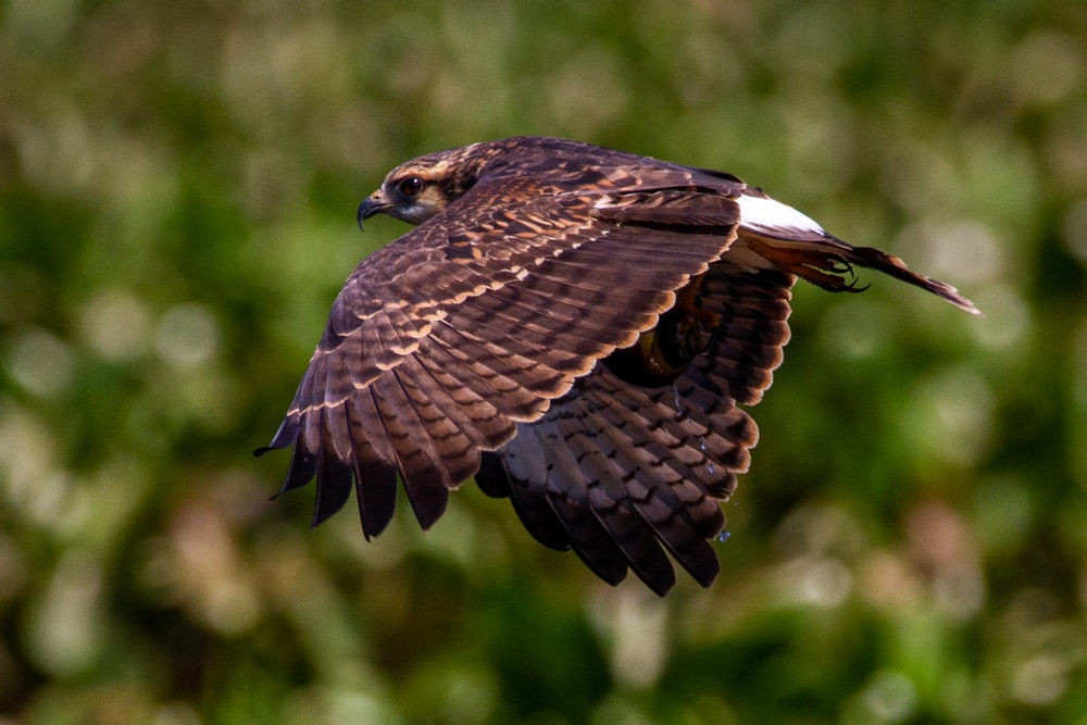 brown and white eagle flying during daytime