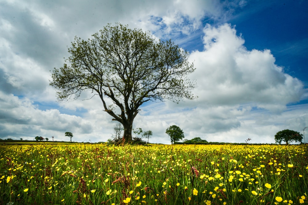 green tree on yellow flower field under blue and white sunny cloudy sky