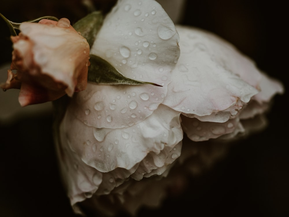 white flower with water droplets