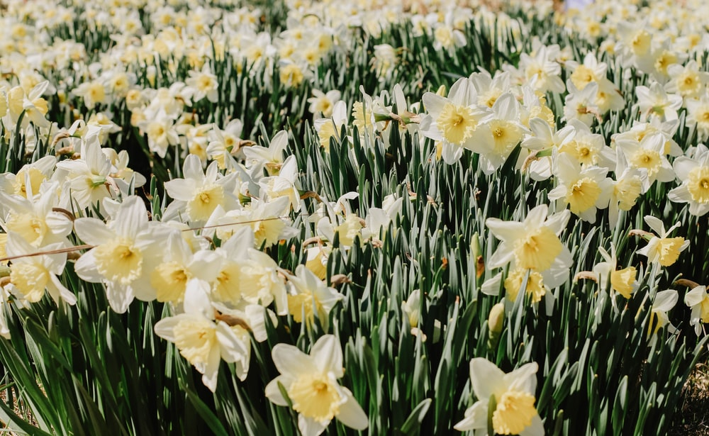 white and yellow daffodils field
