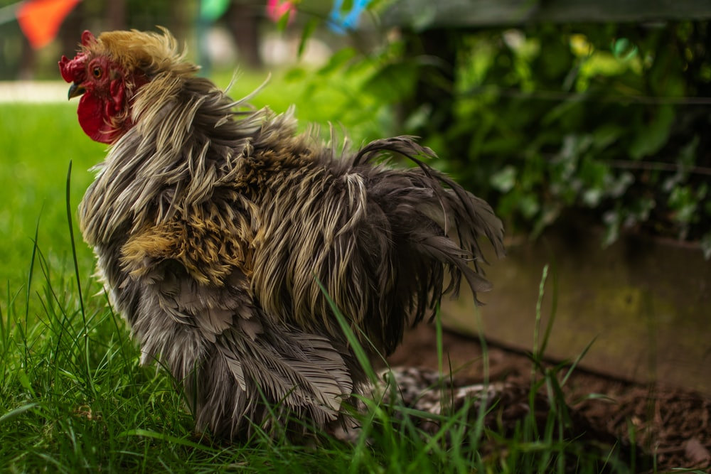 brown and black rooster on green grass during daytime