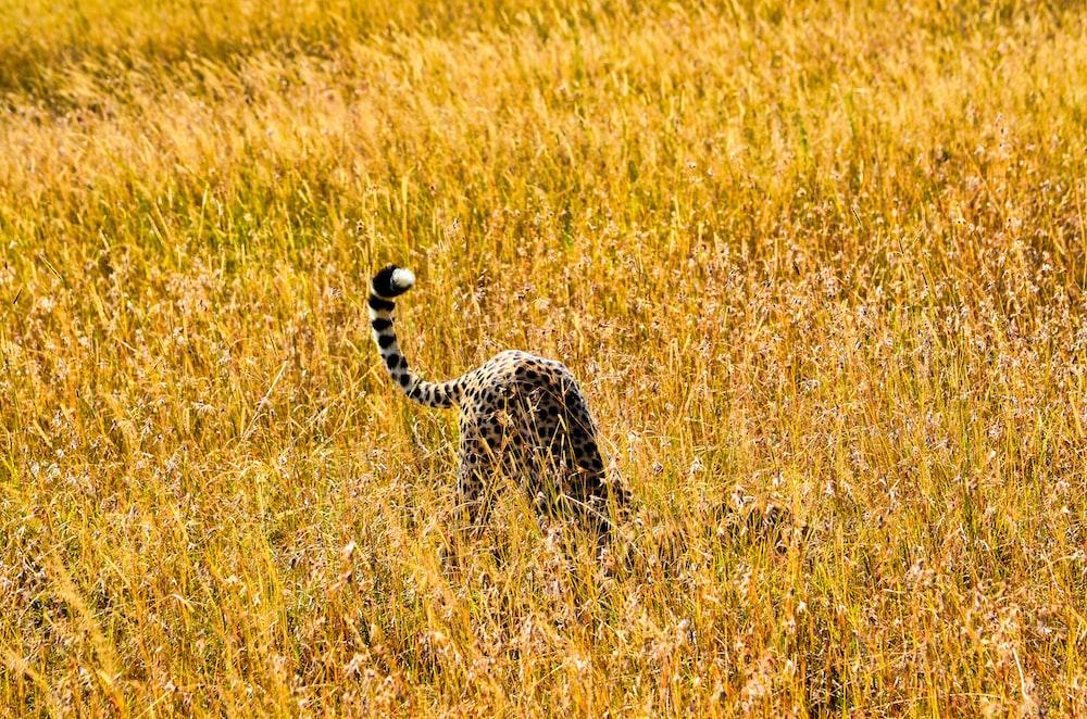 leopard walking on brown grass field during daytime
