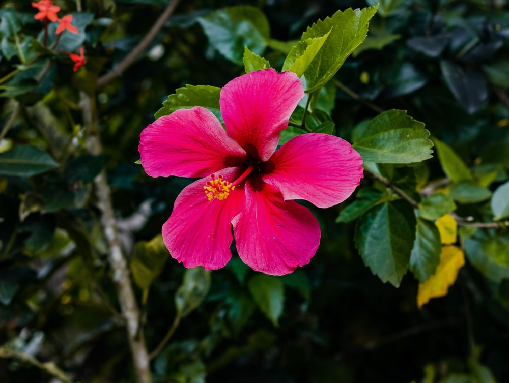 pink hibiscus in bloom during daytime