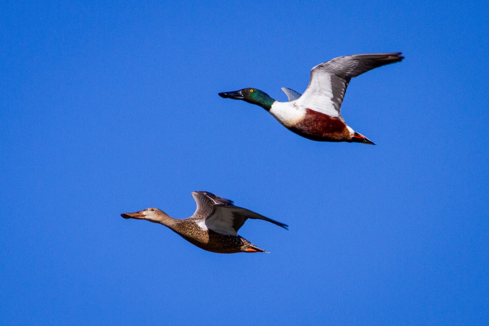 white and brown duck flying under blue sky during daytime