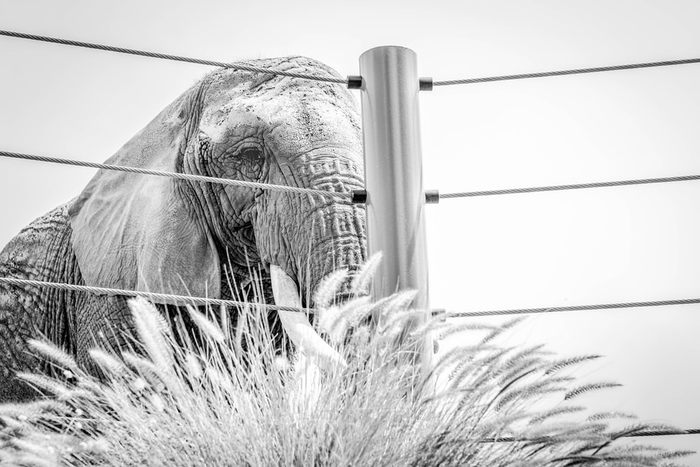grayscale photo of elephant eating grass