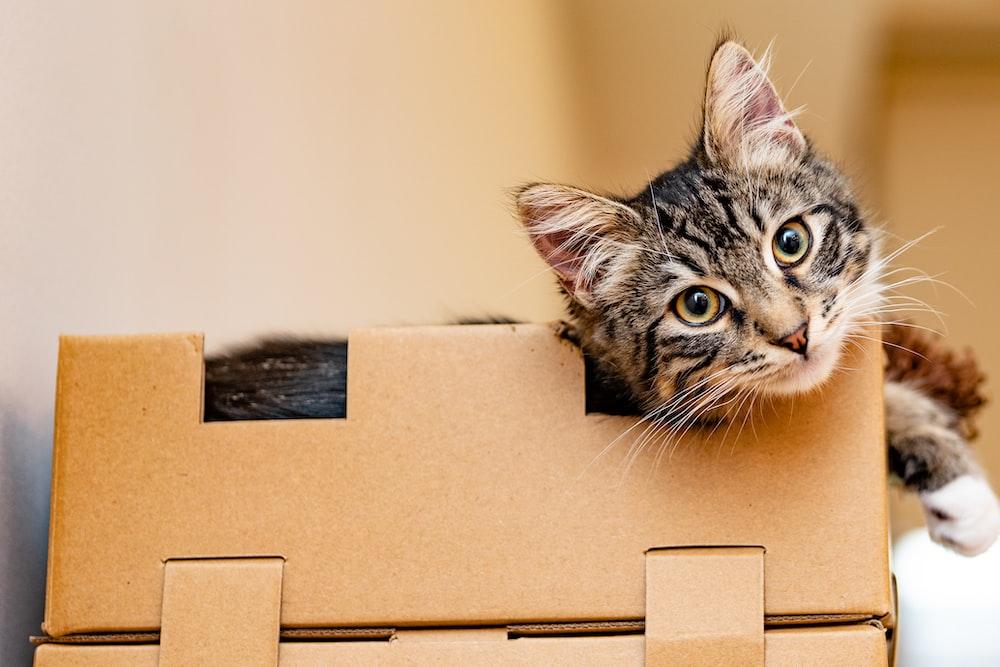 silver tabby cat on brown cardboard box