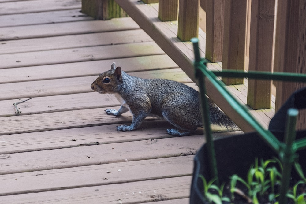 gray squirrel on brown wooden fence