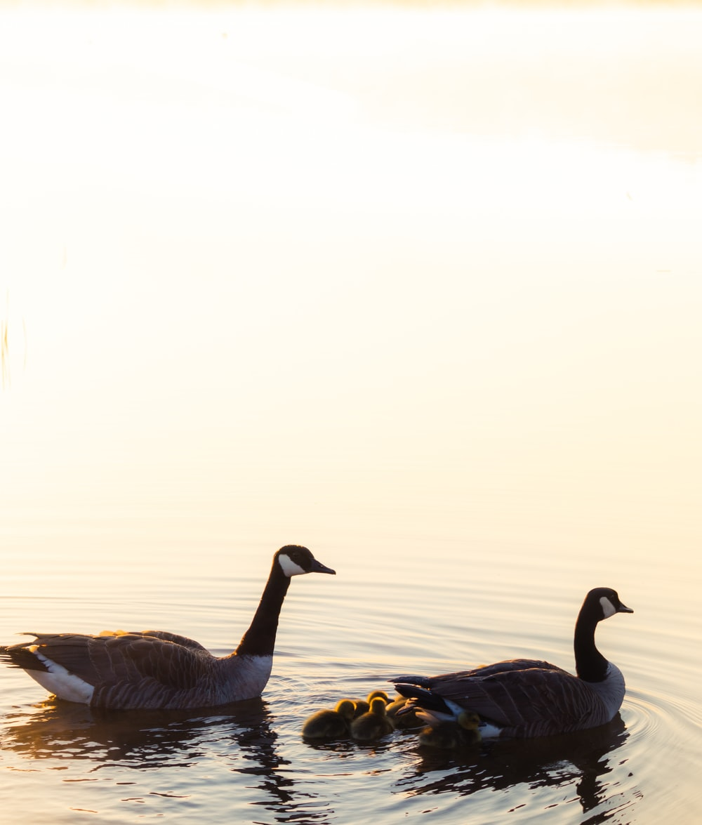 two brown geese on water
