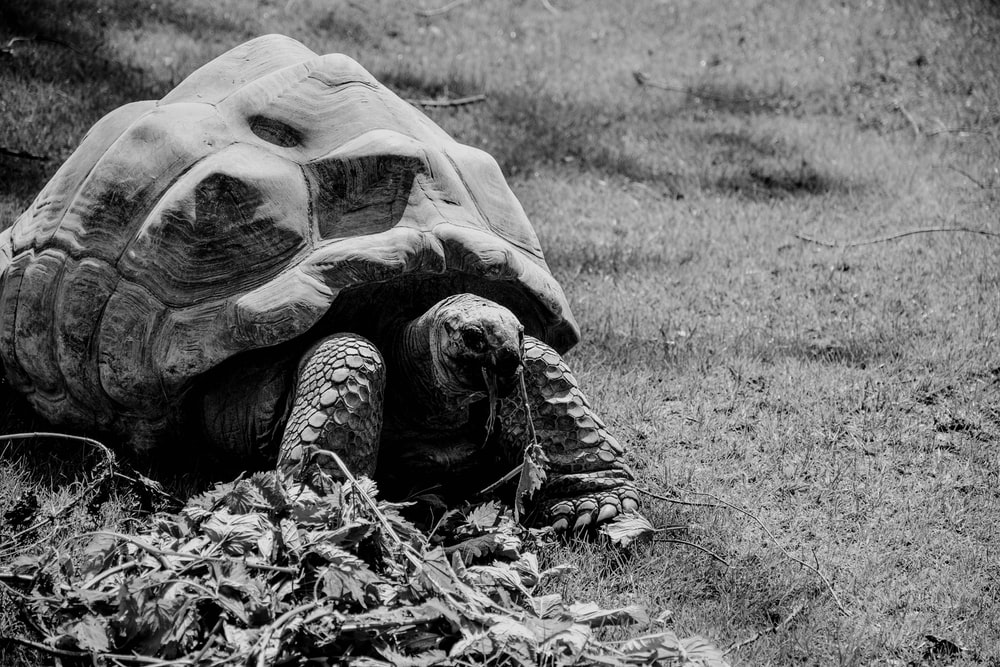 grayscale photo of turtle on grass field