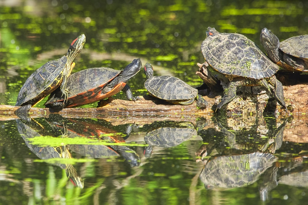 green and black turtle on water