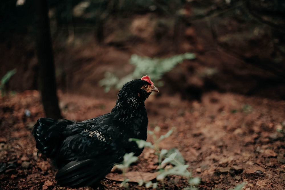 black and brown chicken on brown soil