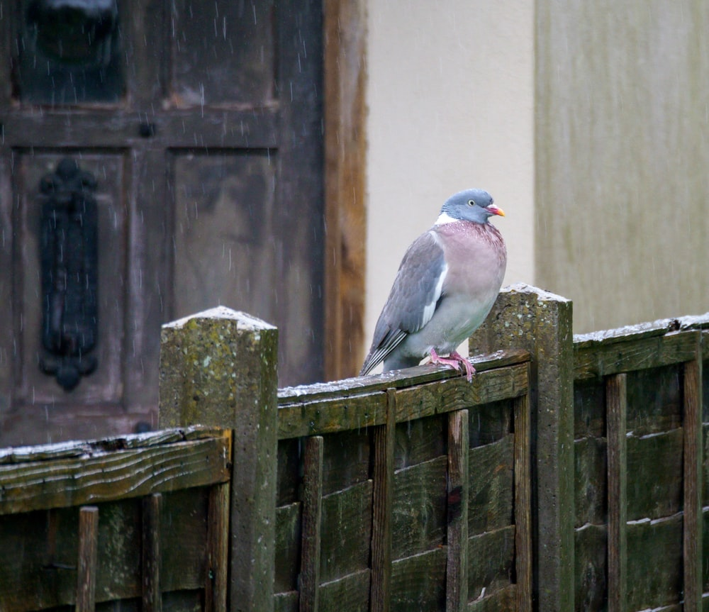 gray and white bird on brown wooden fence
