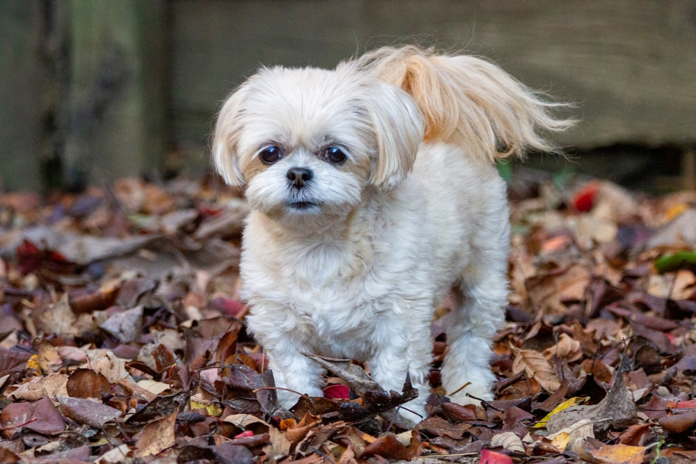 white and brown long coated small dog on dried leaves