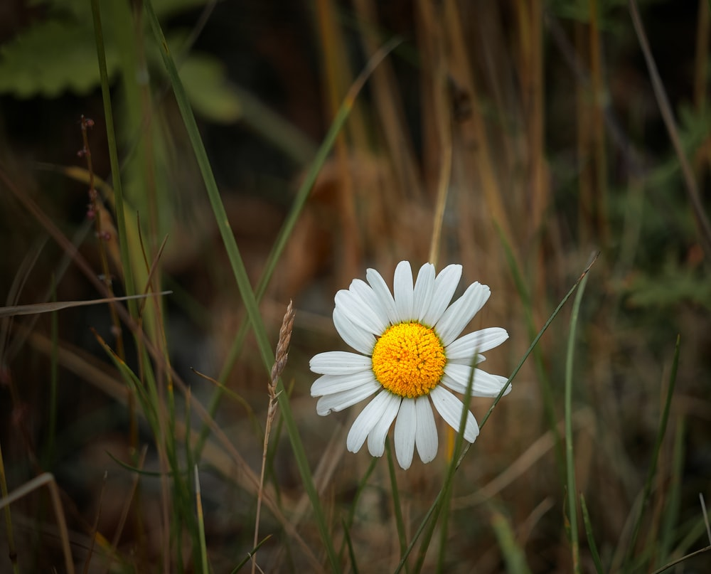 white daisy in bloom during daytime
