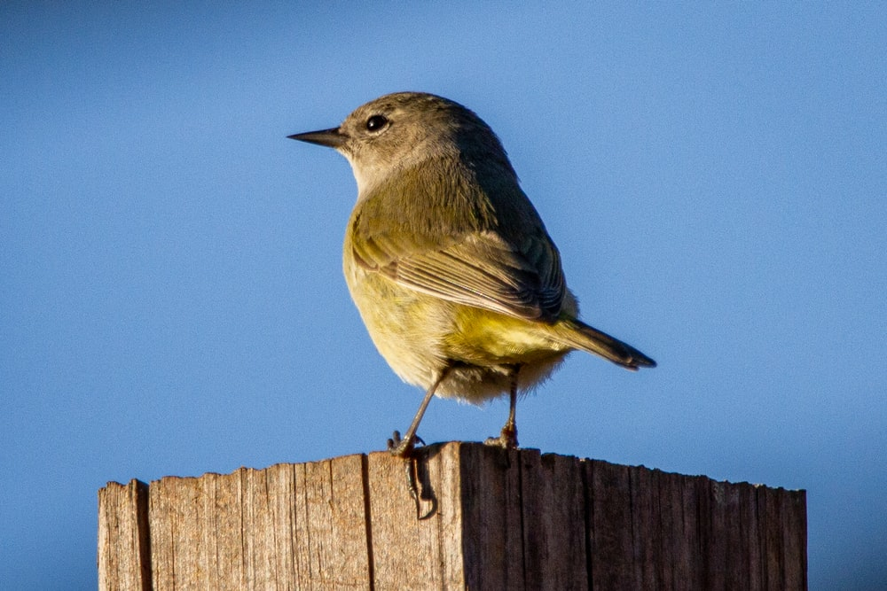gray and yellow bird on brown wooden fence
