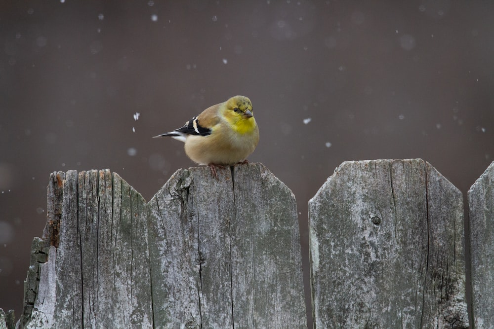 yellow and black bird on brown wooden fence