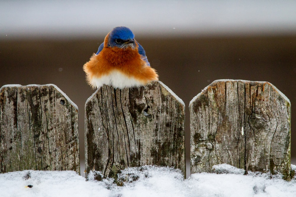 blue and brown bird on gray wooden fence during daytime
