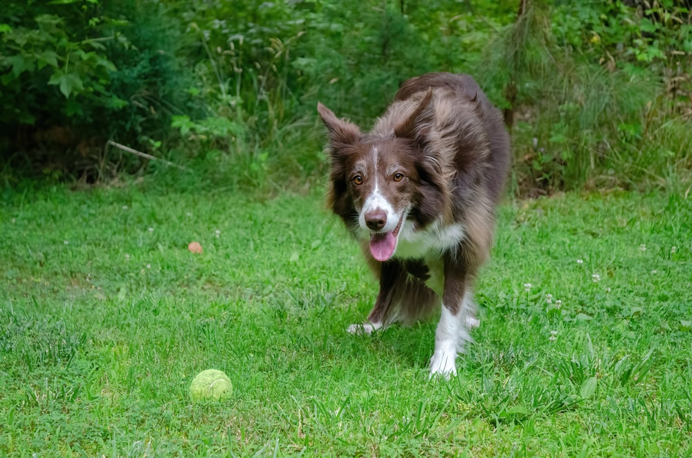 brown and white border collie puppy on green grass field during daytime