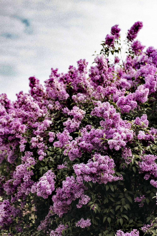 purple flowers under gray sky