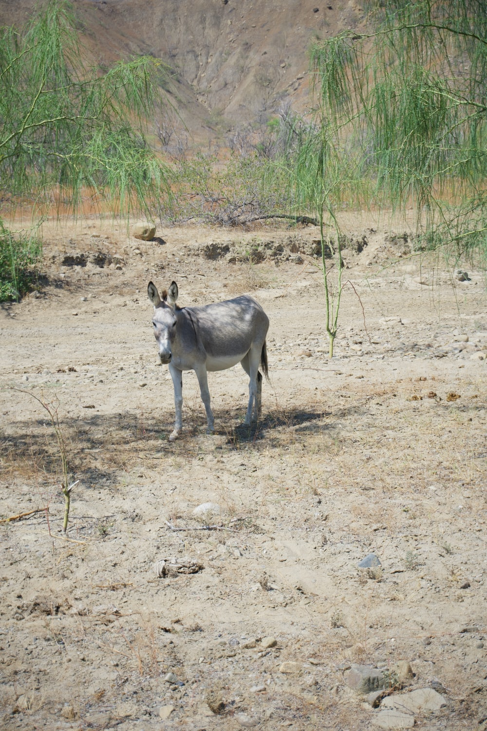 gray and white animal on brown dirt ground during daytime