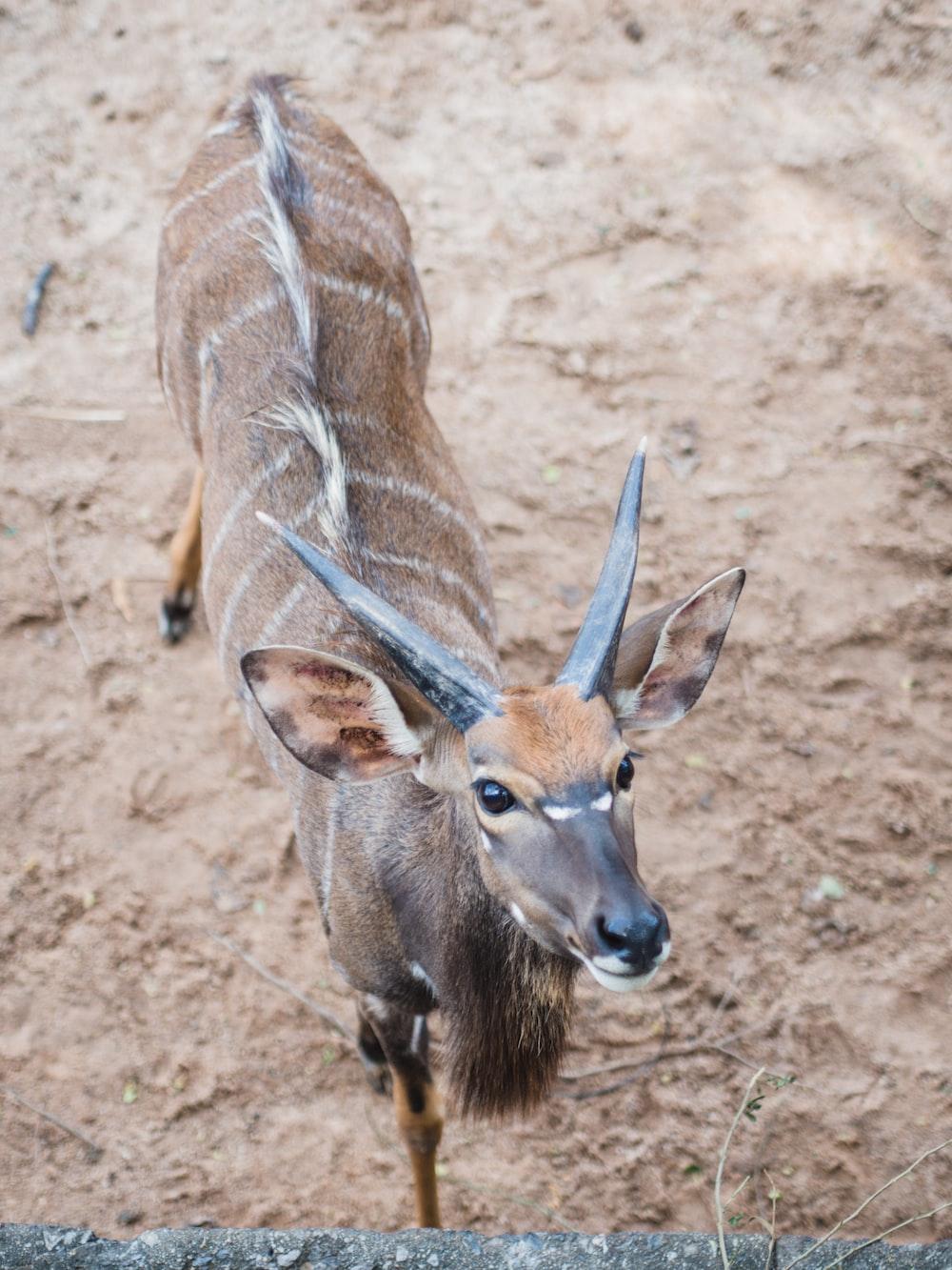 brown deer on brown soil during daytime