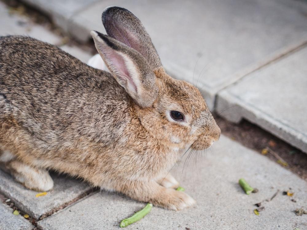 brown rabbit on gray concrete floor