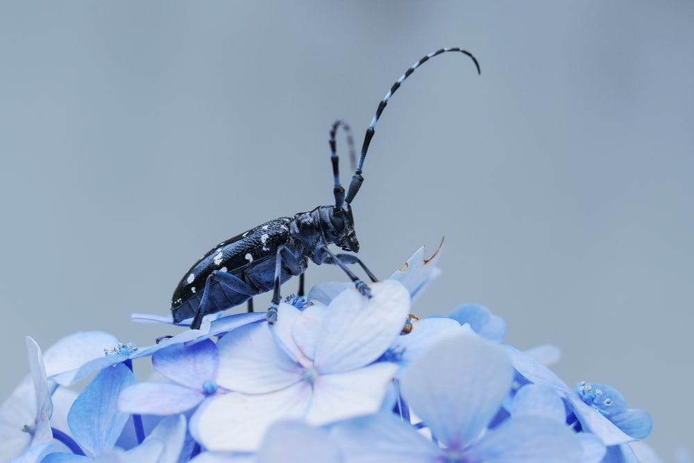 black and white insect on blue flower