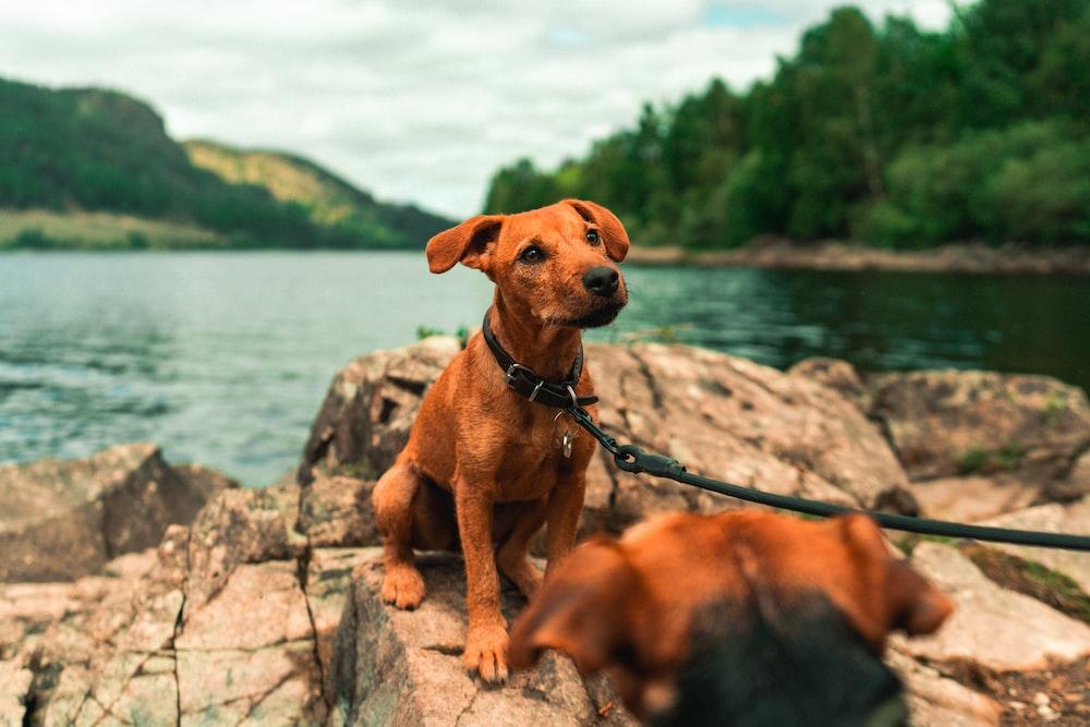 brown short coat medium dog on grey rock near body of water during daytime