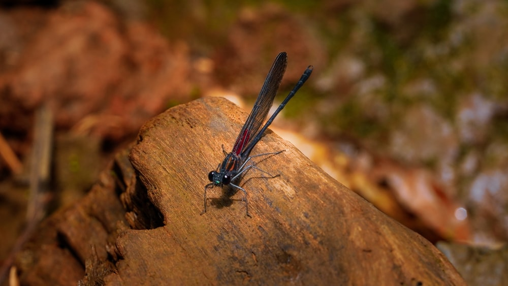 blue damselfly perched on brown rock in close up photography during daytime