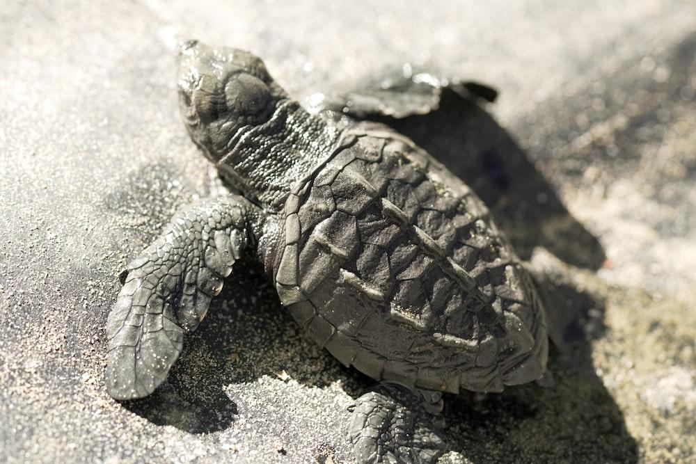 brown turtle on gray sand