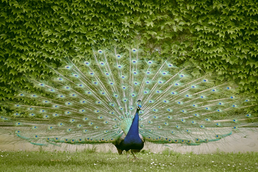 blue peacock on green grass field during daytime