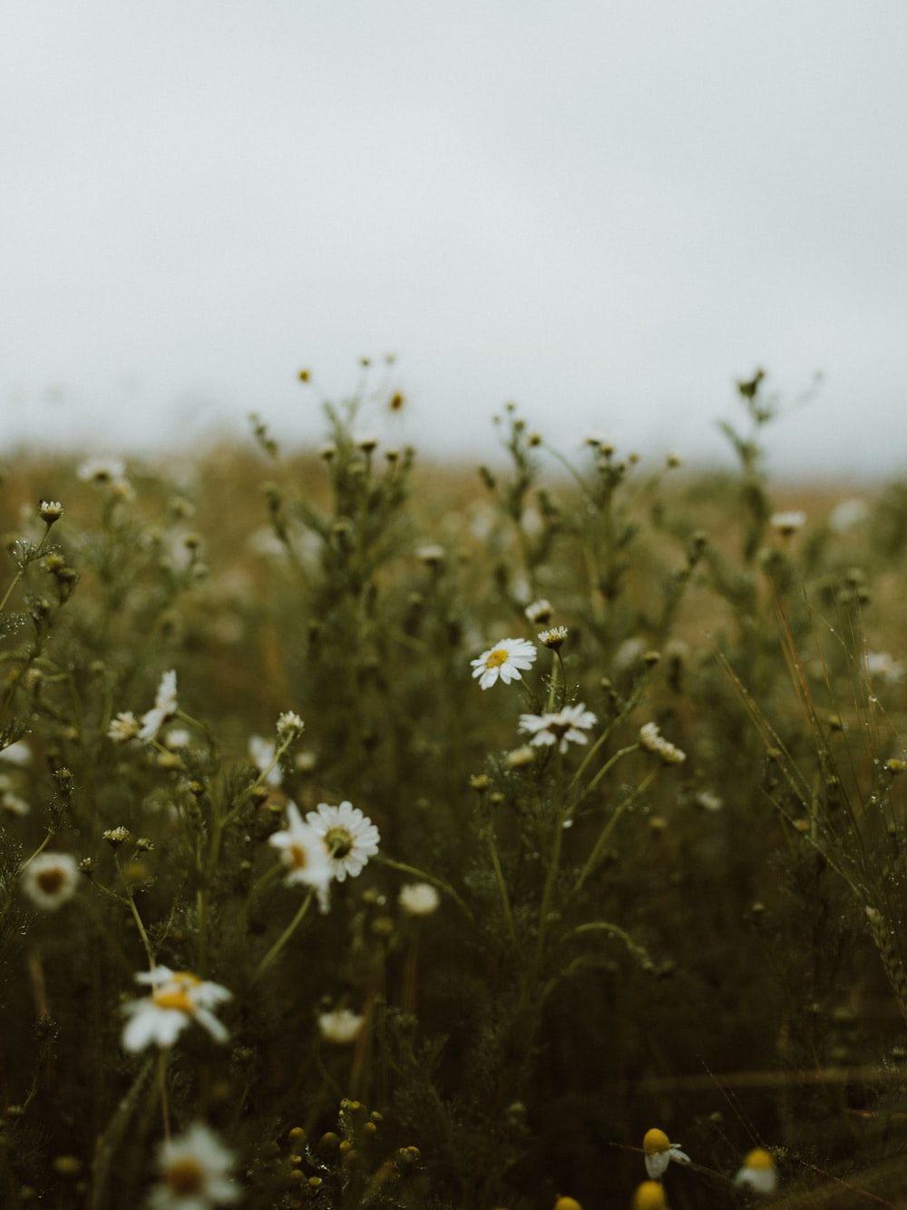 white flowers on brown grass field