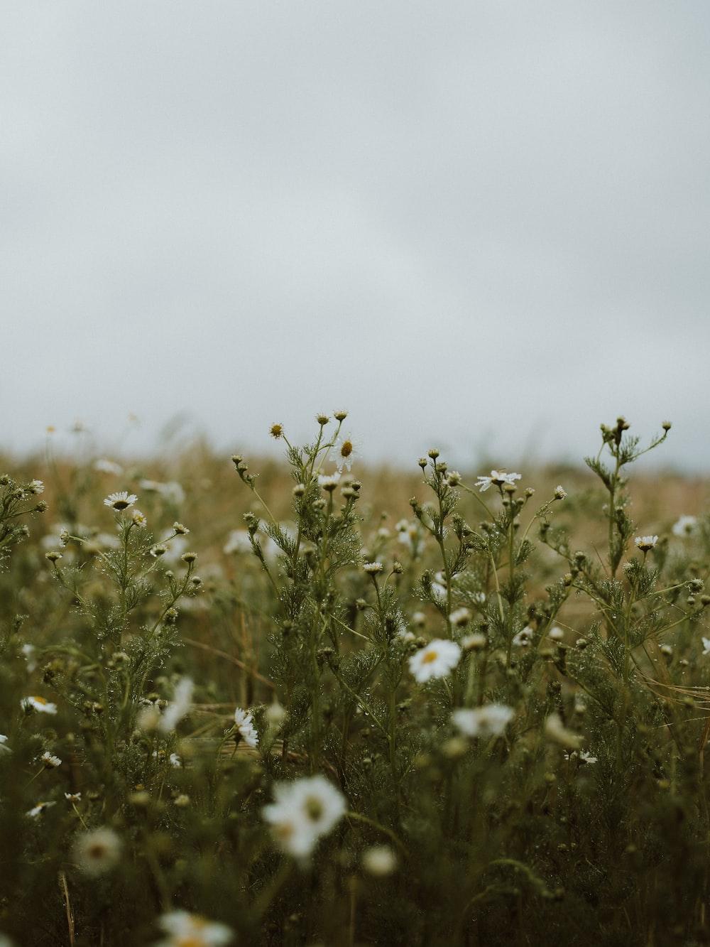 white flower field during daytime