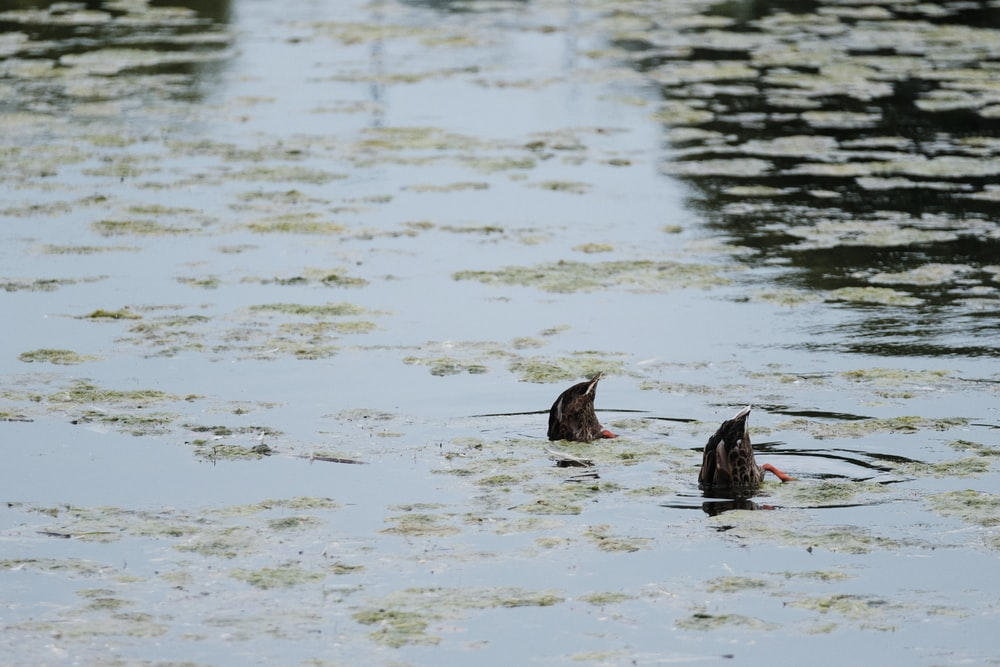 two black birds on water during daytime
