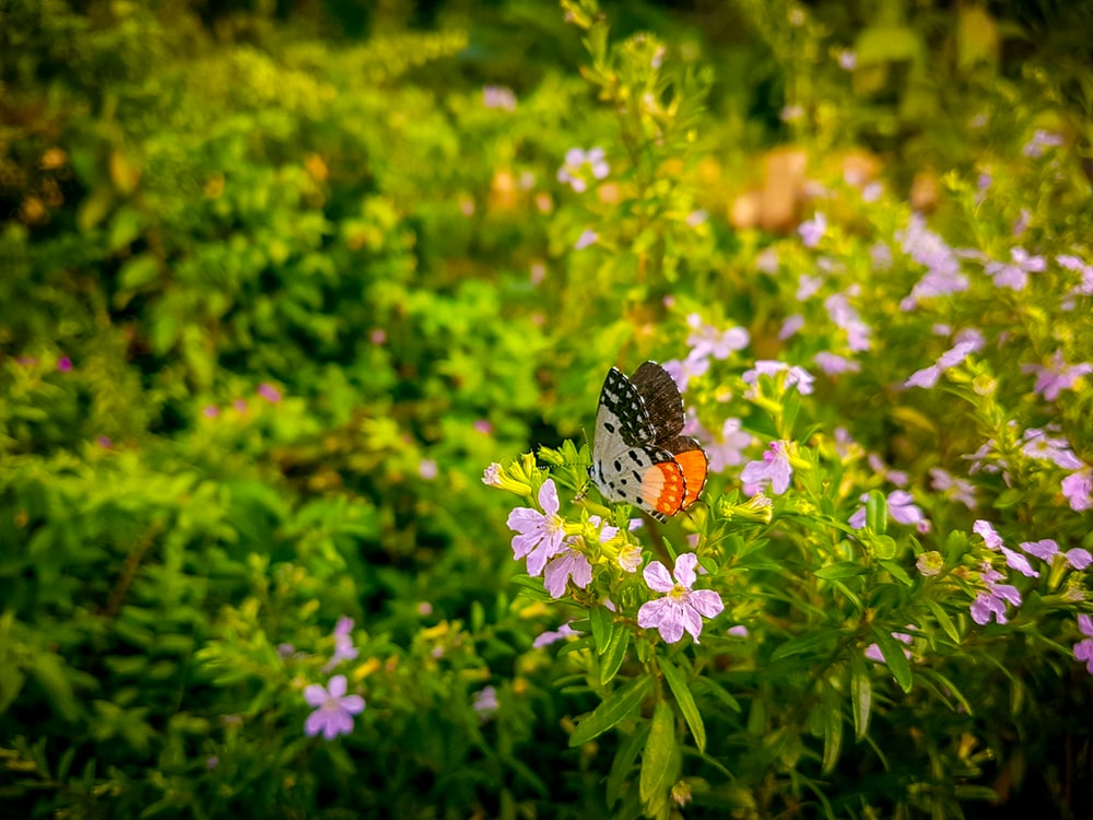 brown white and black butterfly on purple flower