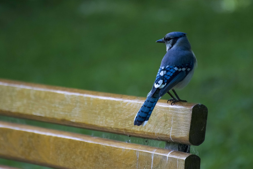 blue and white bird on brown wooden fence
