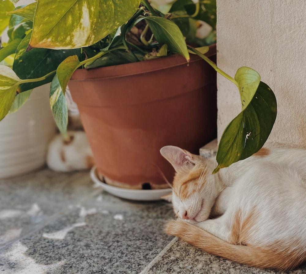 white and orange cat lying on gray concrete floor