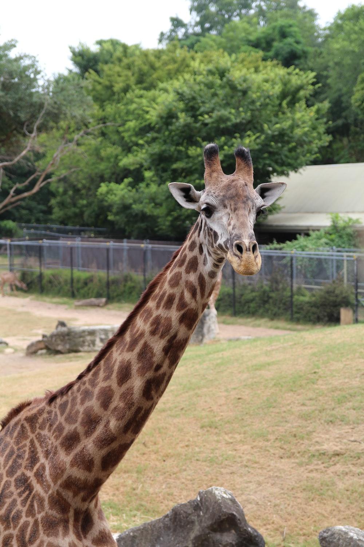 giraffe eating grass during daytime