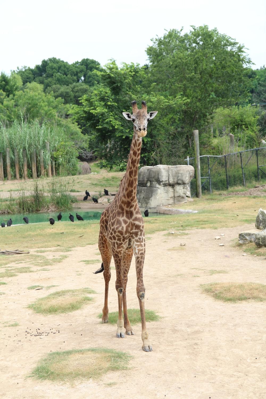 giraffe standing on green grass field during daytime