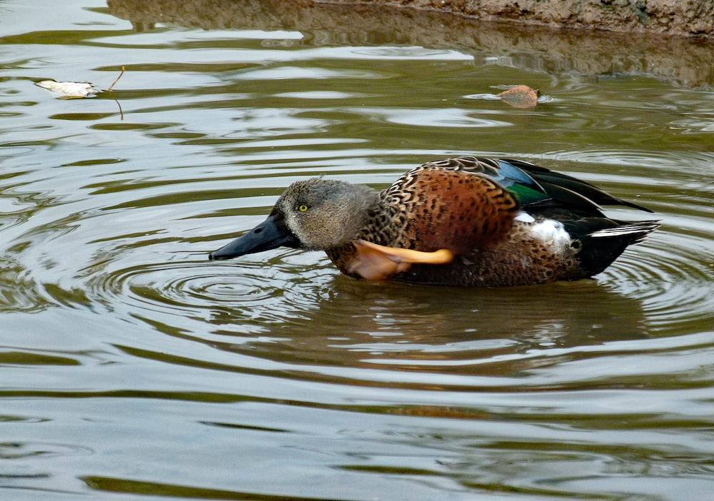 brown and black duck on water during daytime