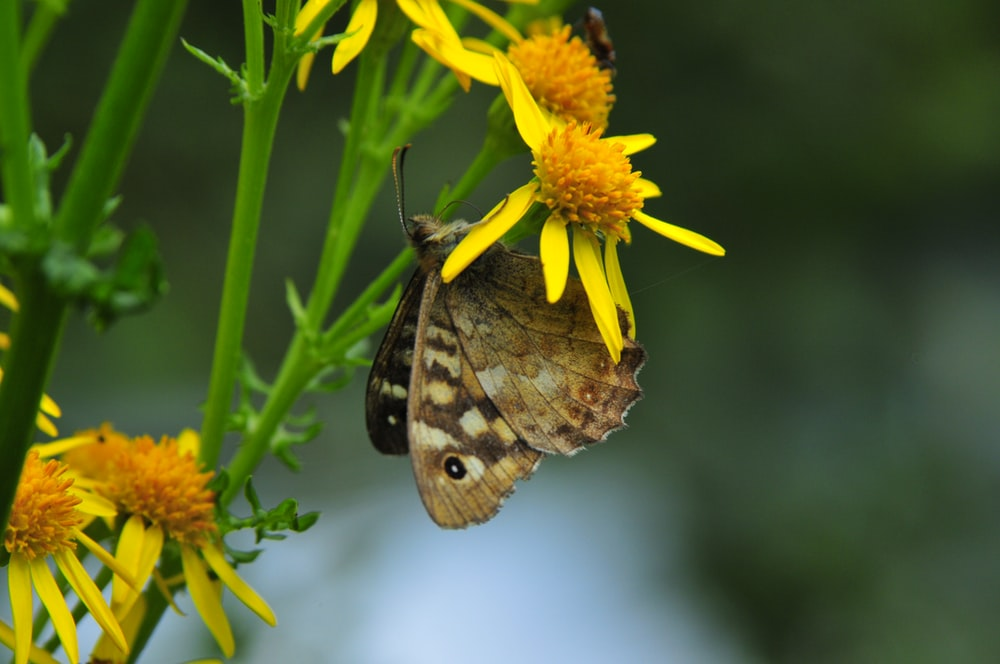 brown butterfly perched on yellow flower in close up photography during daytime