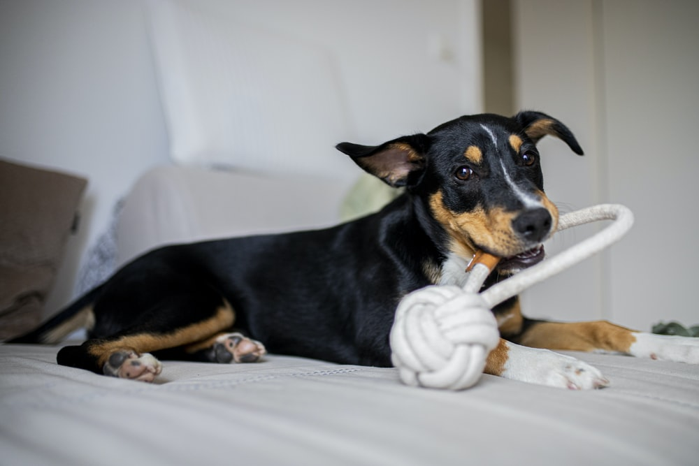 black and tan short coat medium sized dog lying on white textile