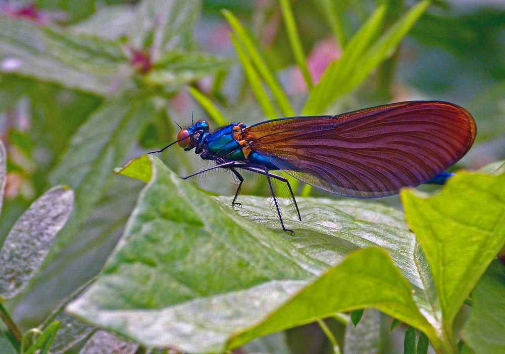 blue damselfly perched on green leaf in close up photography during daytime
