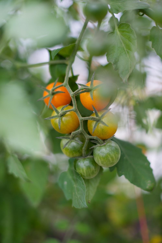 green and orange fruit in tilt shift lens