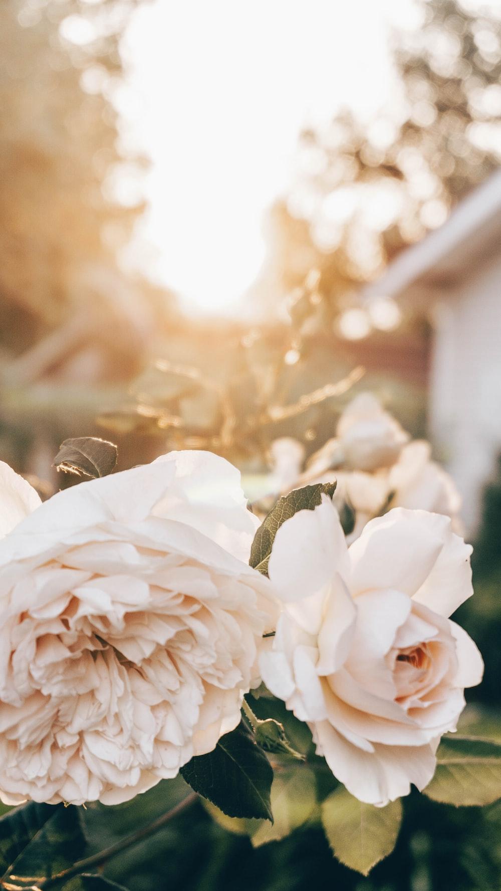 white roses in tilt shift lens