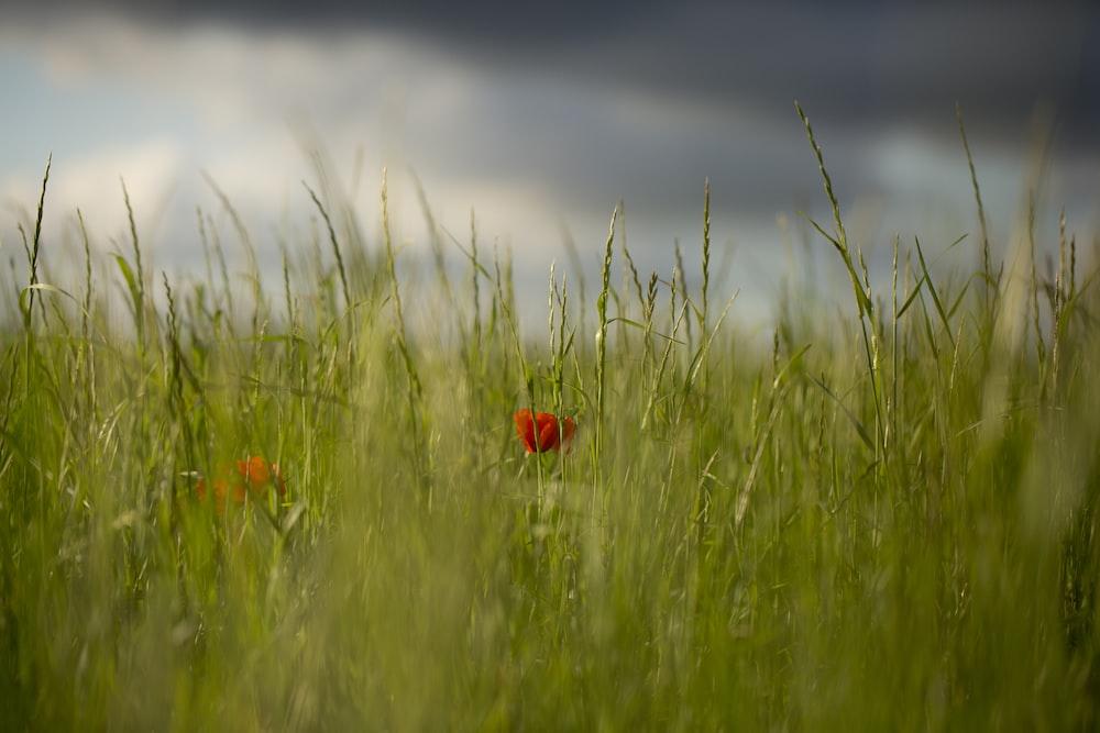 red flower in green grass field