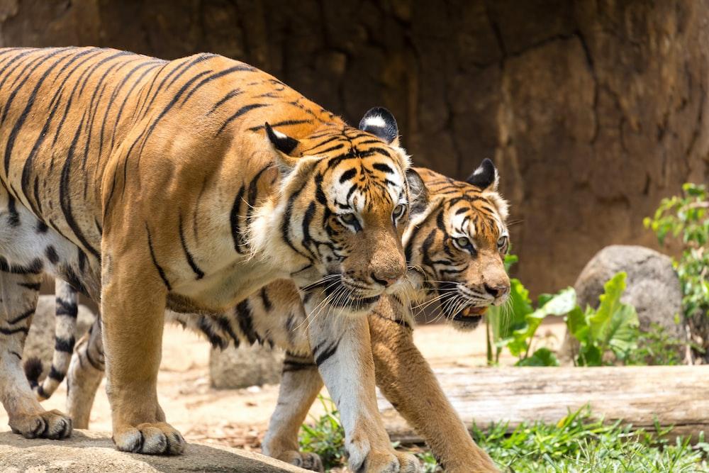 brown and black tiger walking on white sand during daytime