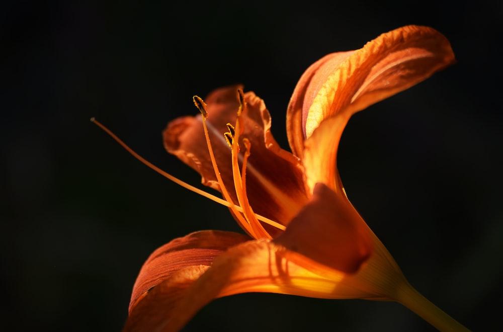 orange flower in black background