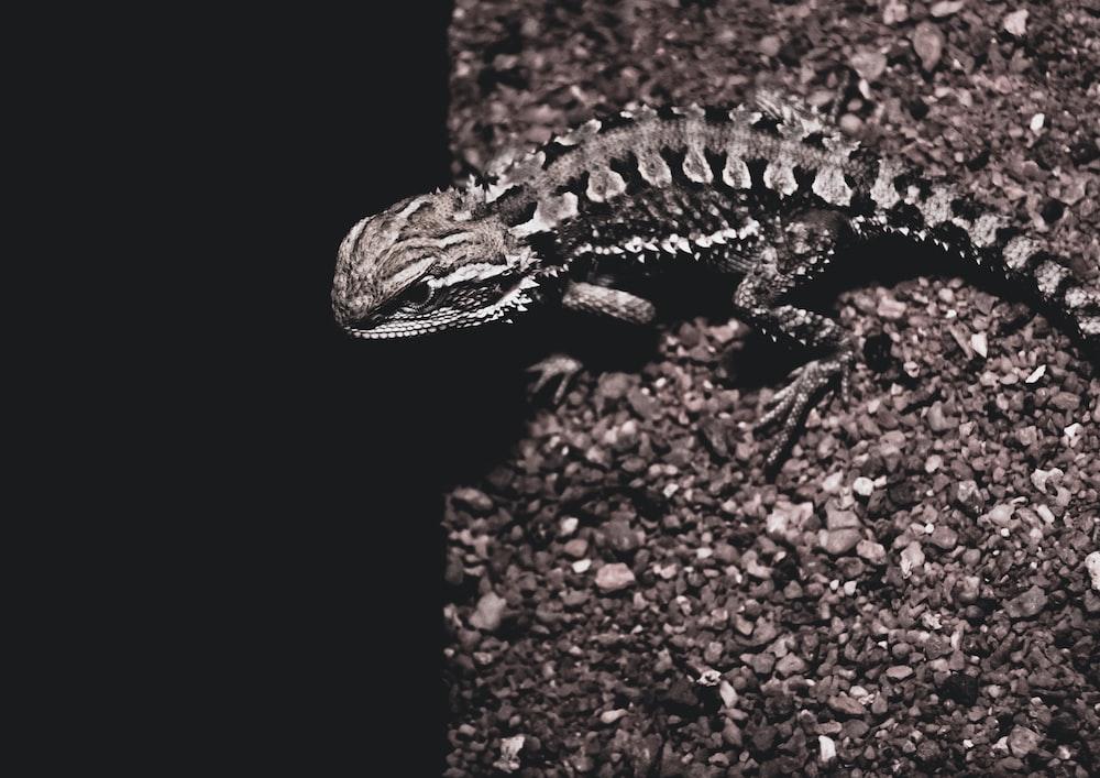 black and brown lizard on brown soil